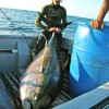 358lb Yellowfin Tuna potential World Record, Brandon Wahlers