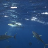 Yellowfin Tuna Trips June/July